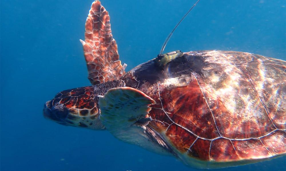 tartarughe-liberate